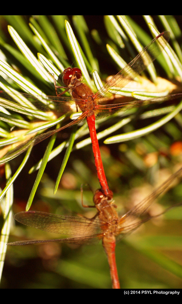 Mating Meadowhawks (Sympetrum sp.)