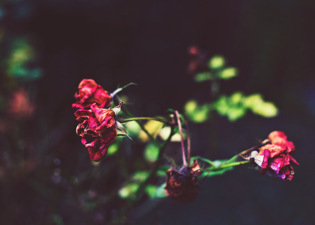 126/365 - red roses