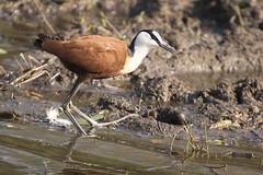 Kruger NP, SA: African Jacana