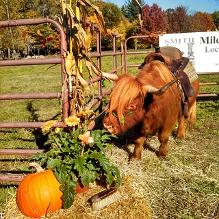 #MilesSmithFarm #FarmDay #fall #newhampshire #Highlander #cow #farmanimals #newengland #foliage