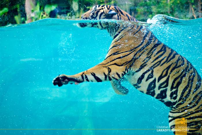 Swimming Tiger at the Chiang Mai Night Safari