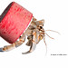 Adaptive behavior- Blueberry hermit crab, Meet Your Neighbours Okinawa.
