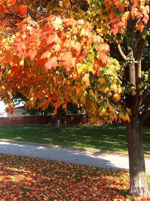 Autumn leaves, Toronto