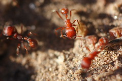 IMG_0546 Red Imported Fire Ant