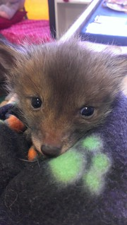 Teeny baby fox