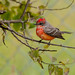 Vermillion Flycatcher (Immature Male) by norm's f-stop