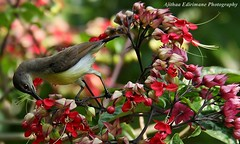 Loten's Sunbird from Sri Lanka
