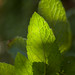 Small photo of Menta peperina / Peppermint