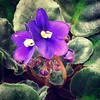 More flowers!! #AfricanViolet