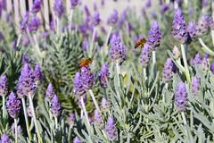 dactylorhiza praetermissa(0.0), lavandula dentata(1.0), flower(1.0), purple(1.0), english lavender(1.0), plant(1.0), lavandula stoechas(1.0), lavender(1.0), lavender(1.0), herb(1.0), wildflower(1.0), flora(1.0),
