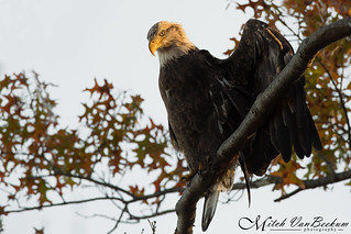 New Kid In Town (Bald Eagle)