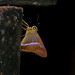 Small photo of Common Banded Awl (Hasora chromus)