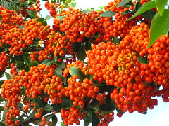shrub(0.0), flower(0.0), plant(0.0), produce(0.0), food(0.0), schisandra(0.0), evergreen(1.0), hippophae(1.0), fruit(1.0), rowan(1.0),