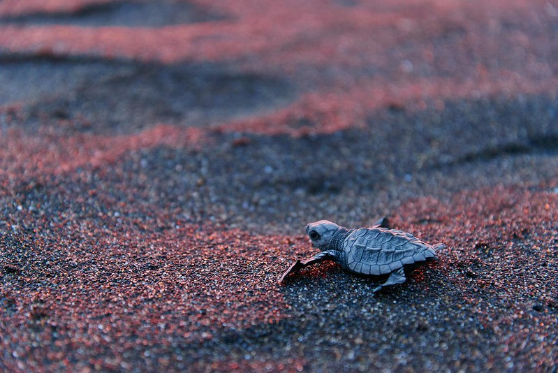 Baby leatherback sea turtle - Monterrico