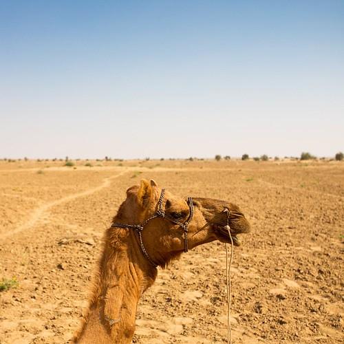 Hey camel. #thardesert #camel #face #travel #desert #theglobewanderer #vegabond #mygoodside #India #Rajasthan #travelstoke #traveldeeper #mytinyatlas @cntraveler @travelandleisure