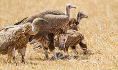 White-backed, Lappet-faced and Hooded Vultures, Senegal