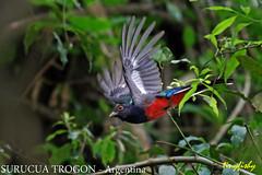 (Species# 848a) SURUCUA TROGON - [ Iguazu, Argentina ]