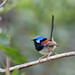 Variegated Fairy-wren by christinaportphotography