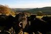 Curious cows_