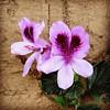 Belleza morada (foto):  #flor #flower #naturaleza #nature