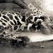 cheetah.mono-1