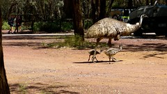 emu, animal, zoo, ostrich, flightless bird, fauna, safari, bird, ratite, wildlife,