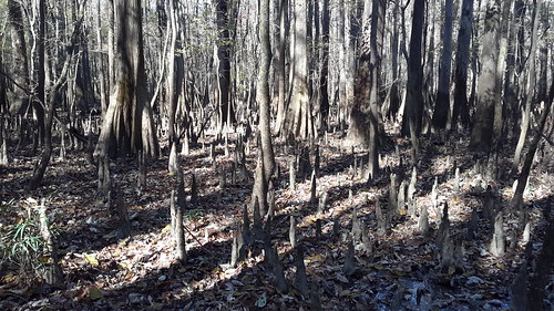 Lots of bald cypress trees and their entangled web of 'knees'