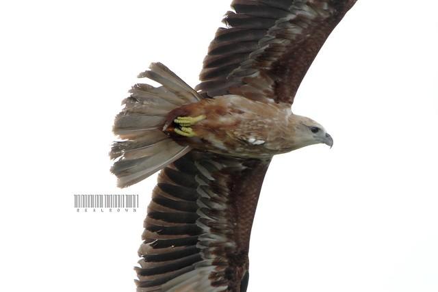 Brahminy Kite (immature)