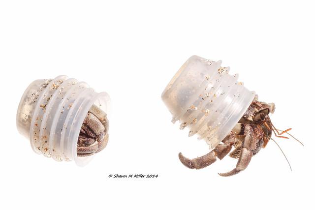 Adaptive behavior- Small Blueberry hermit crab -