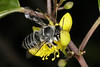 Megachile (Eutricharaea) simplex _MG_0440AA