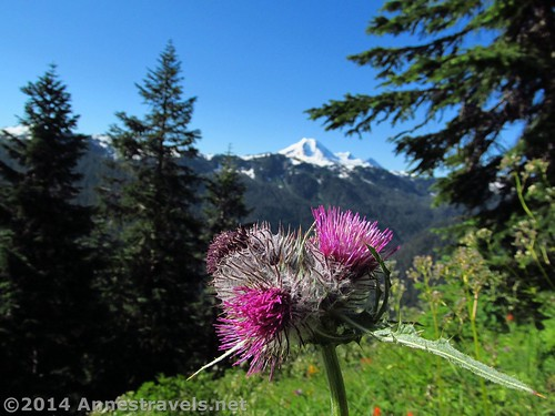 Views of Mt. Baker and wildfowers along the Canyon Ridge Trail, Mt. Baker-Snoqualmie National Forest, Washington