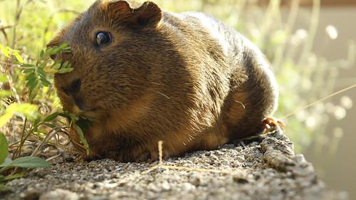 Guinea pig | Güima