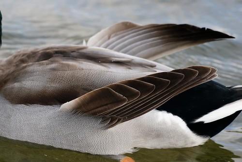AiIes d'ange d'un canard colvert : MG_3650_DxO
