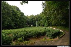 茶園。圖片來源:munch