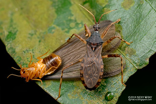 Assassin bug (Reduviidae) - DSC_4577
