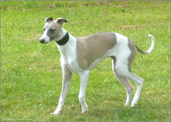 dog sports, dog breed, animal, hound, magyar agã¡r, dog, polish greyhound, whippet, galgo espaã±ol, sloughi, pet, italian greyhound, greyhound, carnivoran,