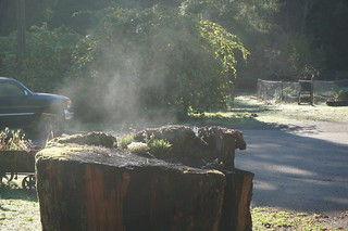 Water vapor rising from redwood stump