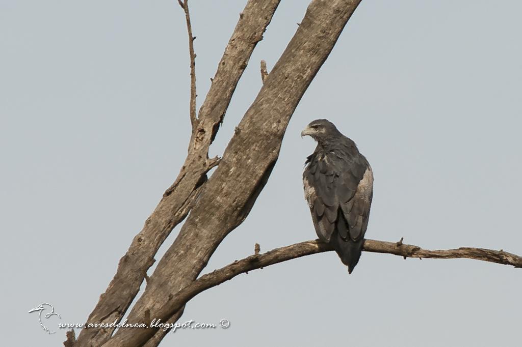Águila mora (Black-chested Buzzard-Eagle) Geranoaetus melanoleucus