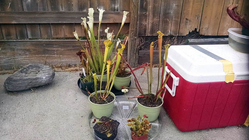 Outdoor growing with Sarracenia and Dionaea.