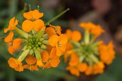 orange blooms