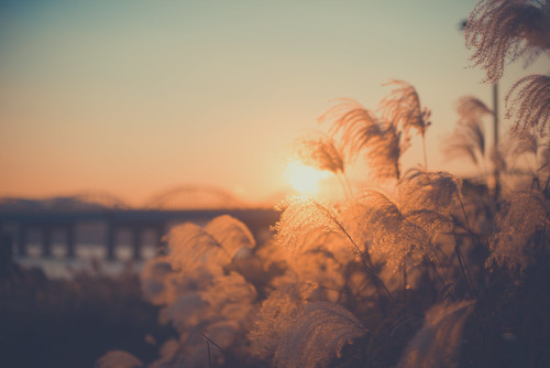 Pampas Grass on the Han
