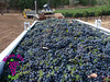 Beautiful #wine grapes from California's North Coast. 2014 #harvest...