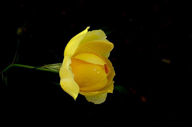 tsuping.liu - IMGP3982 Rose