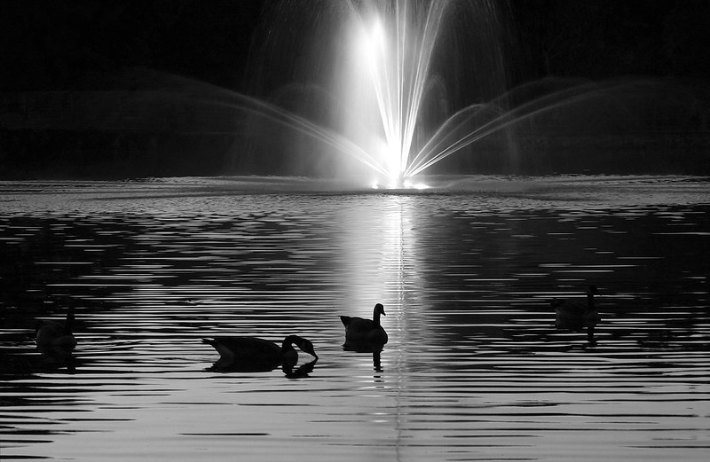 Canada Geese in Hoover