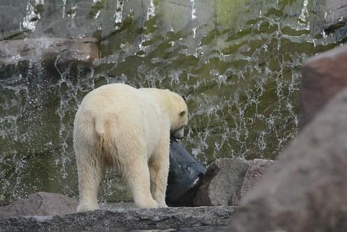 Eisbäin Sesi im im Parc zoologique et botanique de Mulhouse