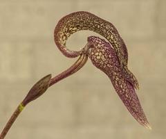 Bulbophyllum?