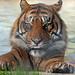 Tiger in pool