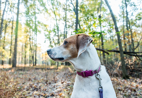 American Fox Hound in the Woods by Geoff Livingston