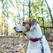American Fox Hound in the Woods
