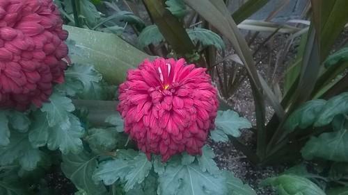 Chrysanthemum Magenta